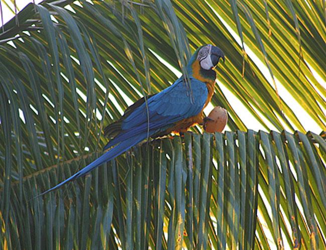 Miami Blue Macaw