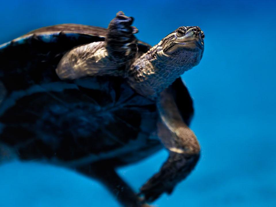 Pool Turtle